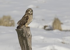 Short-eared Owl 作者 Yamil Saenz