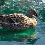 Preston Duck