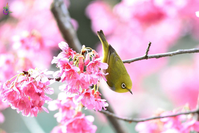 Sakura_White-eye_8006