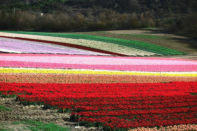 Tulips in Provence..., Canon POWERSHOT G1 X MARK II