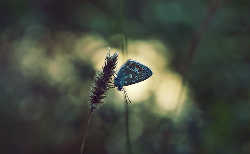 montreal nature summer butterfly animal insect plant flower light sunset visitor life akigabo canon eos dsrl rebel t5i 700d 50mm park bokeh blue green garden dof depthoffield