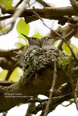 Two Anna's Hummingbird babies crowded in nest
