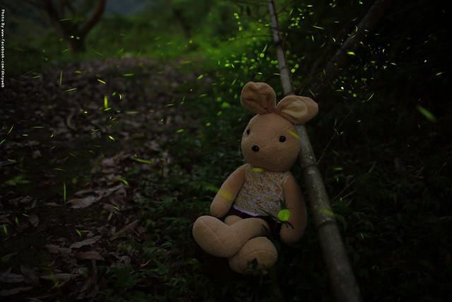 Photo:【 螢 兔 の 螢 火 蟲 】 By 鄒正宏