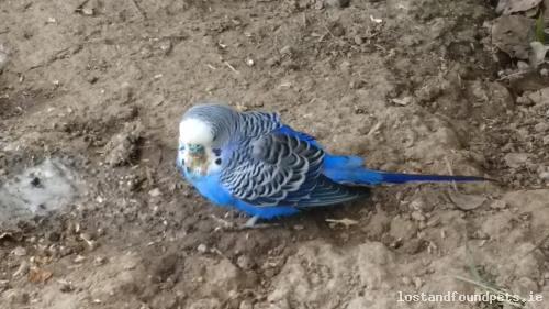 [Updated] Fri, Apr 28th, 2017 Found Male Blue Budgie Bird - Newport, Coole, Tipperary