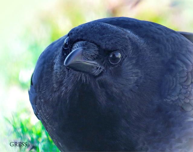 Curious Crow ver. 2