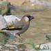 Arabian Golden-winged Grosbeak (Rhynchostruthus percivali)