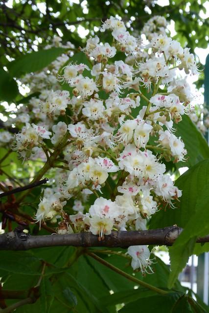 Kastanienblüten, Panasonic DMC-TZ61