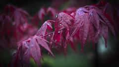 Maple Ahorn