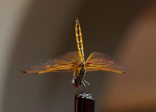 Dragonfly by lcw:)