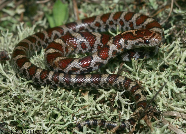 Eastern Milk Snake | Flickr - Photo Sharing!