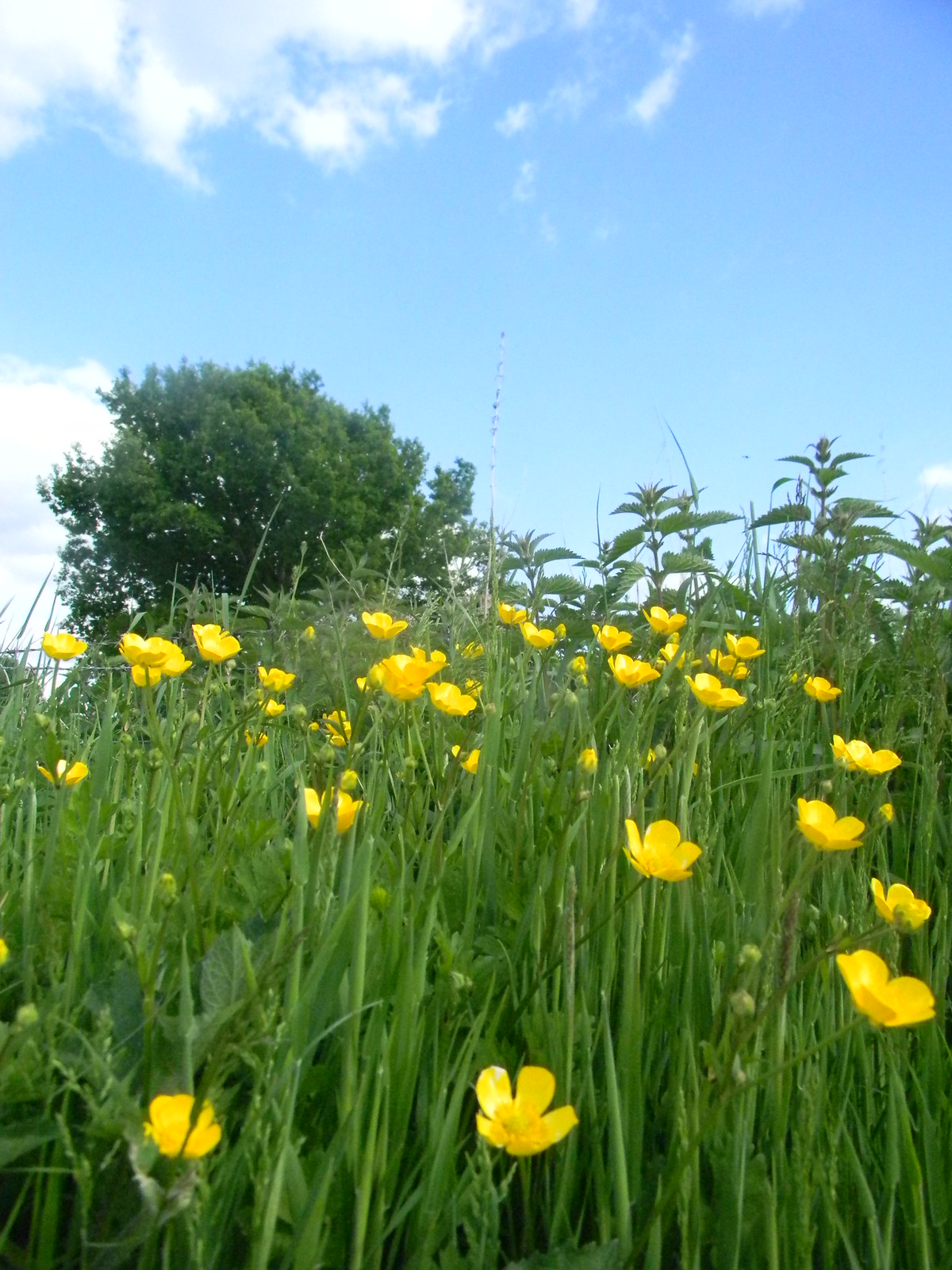 Buttercups Long Leigh circular pretty