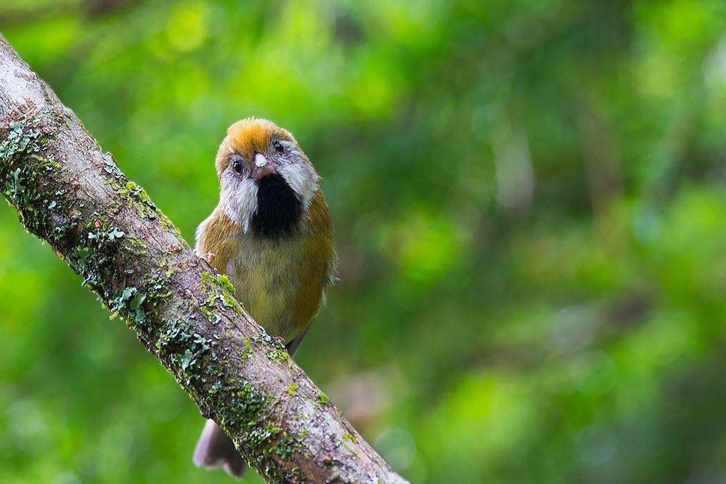 黃羽鸚嘴-4184
