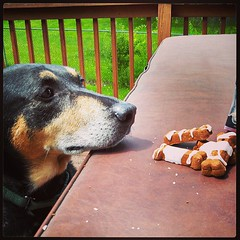 """I'm just looking at 'em"" #dogstagram #dogtreats #coonhoundmix #adoptdontshop #rescue"