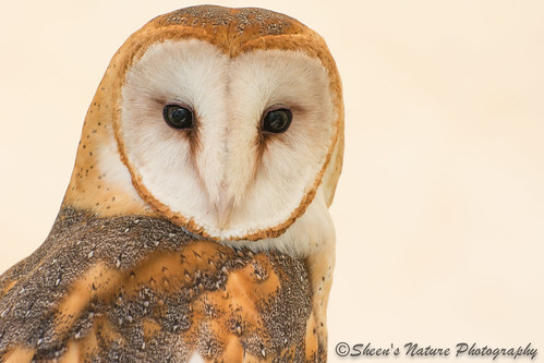 Barn Owl Beauty by Sheen's Nature Photography