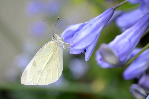 Small White Butterfly Pieris Rapae