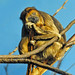 Small photo of Black Howler Monkey (Alouatta caraya) female