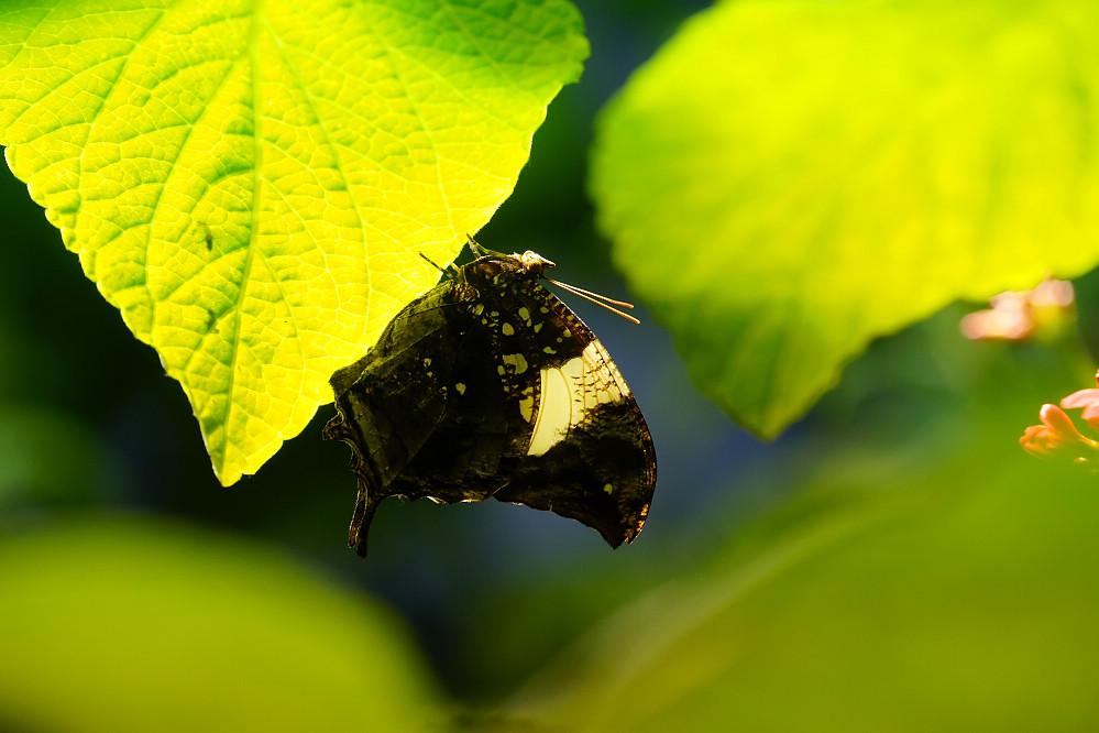 美洲蛺蝶 -1