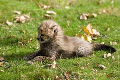 bébé guépard