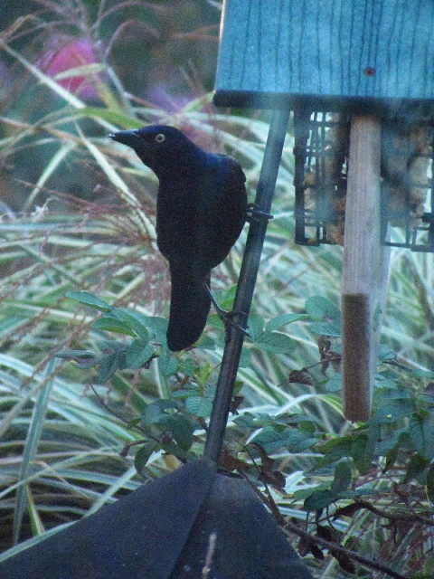 Common Grackle2 10:15:13