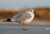 Ring-billed Gull by Bill'sLIPhotos