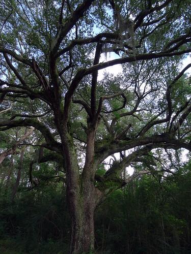tree mississippi oak logtown