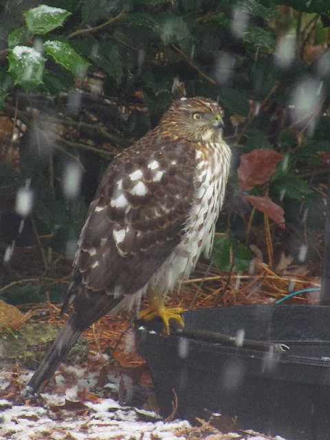 Cooper's Hawk in snow4 12:10:13