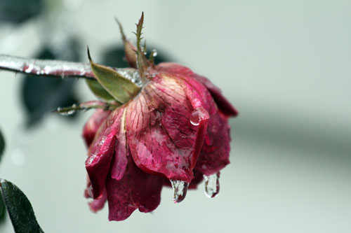 rose encased in ice