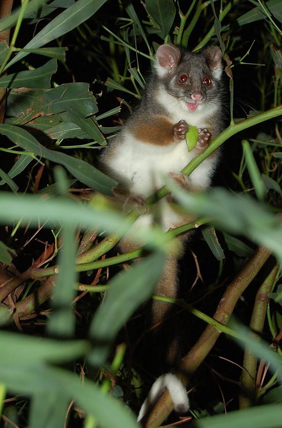ringtail_possum_19_