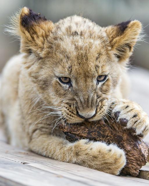 Cub gnawing on wood