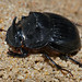 Small photo of Dung Beetle (Copris sp.)