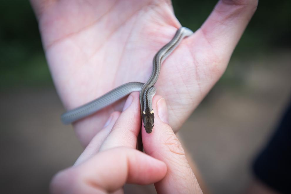 Una pequeña serpiente intenta escaparse de nuestras manos mientras analizamos sus características a pesar de su corta edad. (Tetsu Espósito)