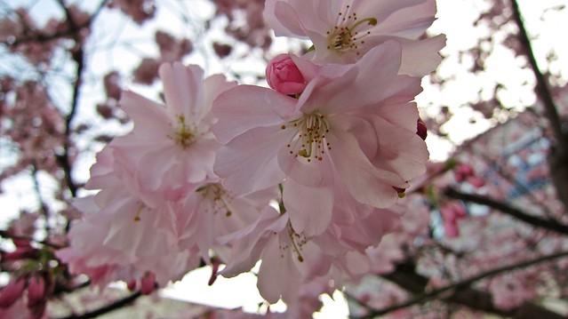 Kirschblüten-2014-Goldengelchen03