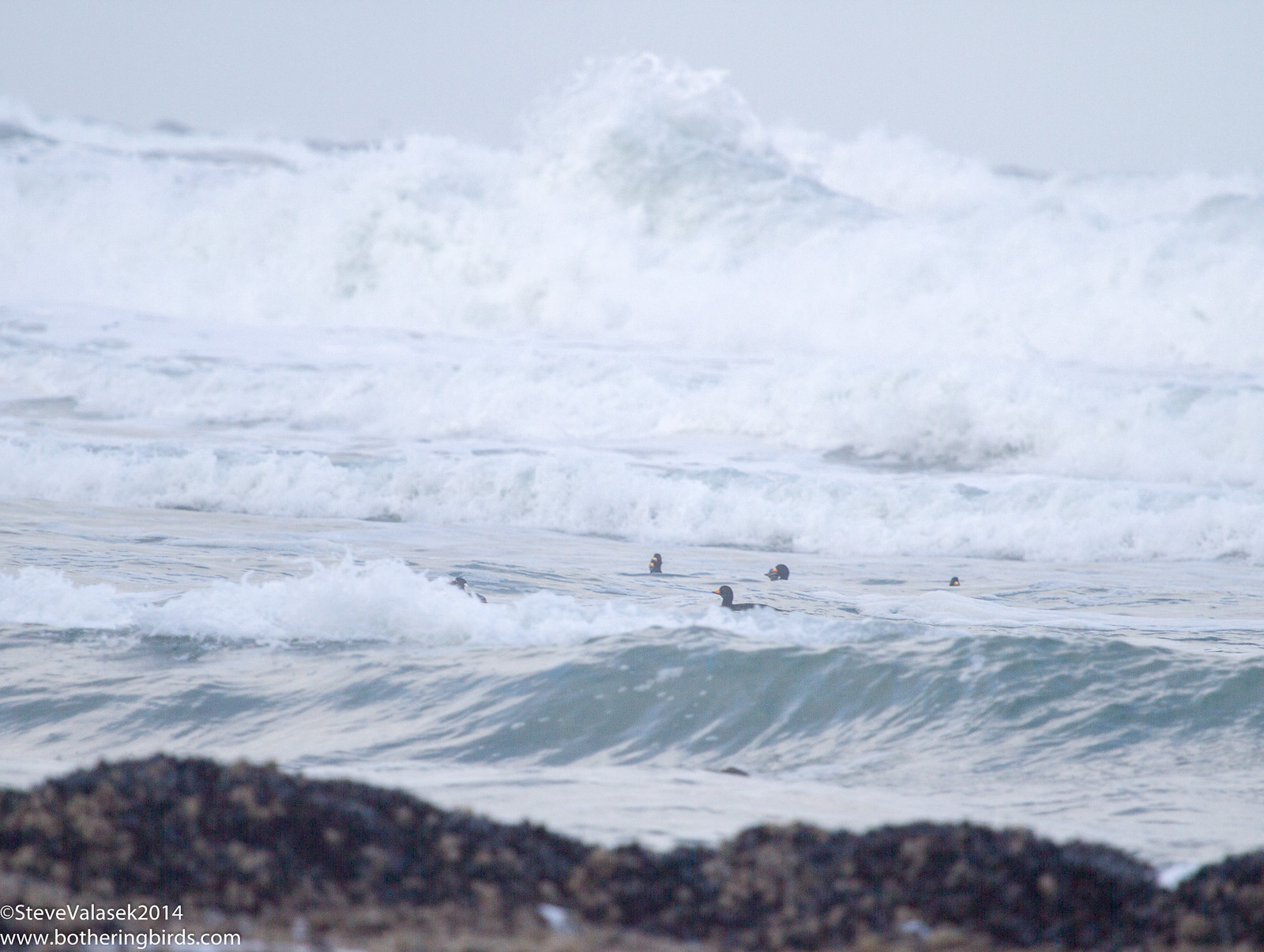 Surf Scoters