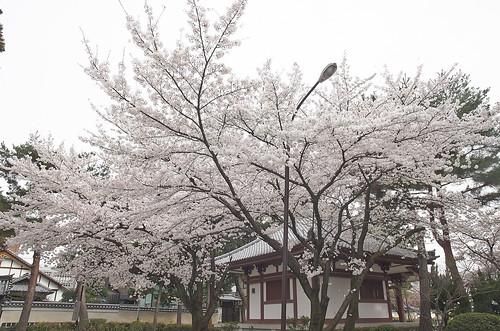 【写真】桜 : 知恩寺