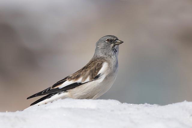 Fringuello alpino - Snow finch