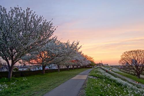 kawasaki 川崎 kanagawa 神奈川 japan 日本 cherryblossom 桜 evening 夕方 tamagawacyclingroad 多摩川サイクリングロード