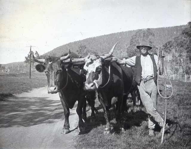 Two leaders of a bullock team with the teamster