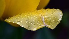 Raindrops on Tulip Petal