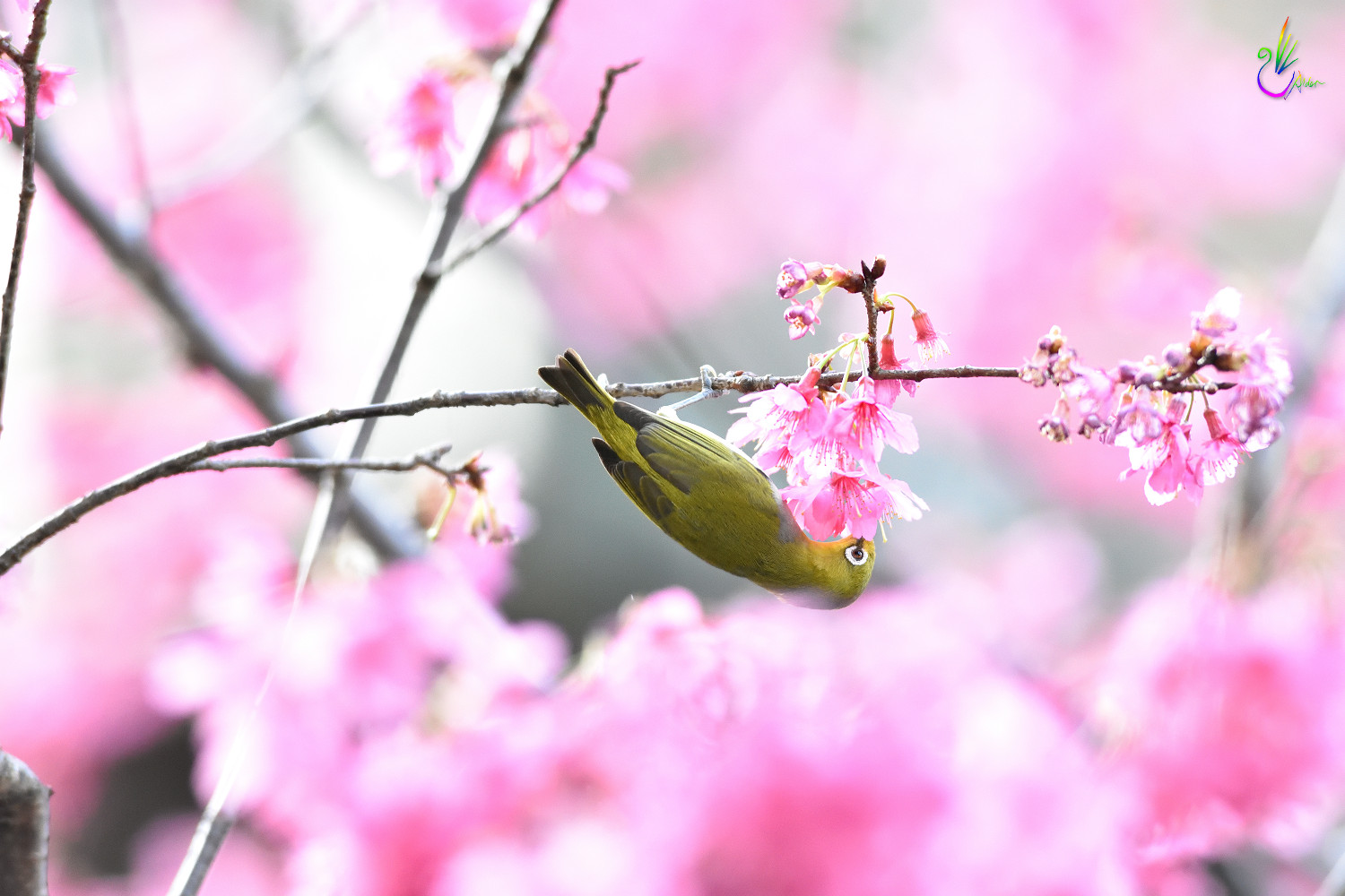 Sakura_White-eye_7742