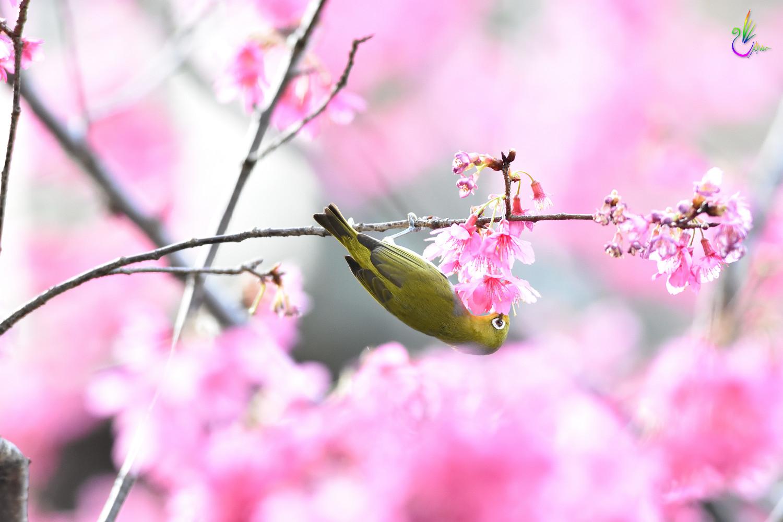 Sakura_White-eye_7742