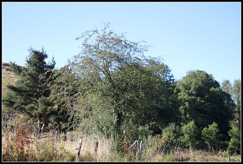Crataegus laevigata (= C. oxyacantha) - aubépine à deux styles 33519212094_a17505b6b1