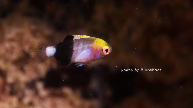 キツネベラ幼魚ちゃん♪