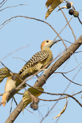 cuba birds fernandinasflicker artemisia vulnerable birddescriptors colaptesfernandinae picidae artemisa cu