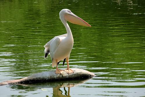 Pelican by ShubhenduPhotography