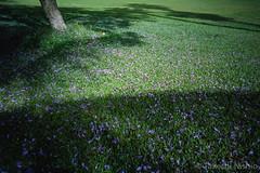 落ちた紫の花 / Fallen purple petals