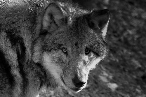 wolf b-w by FR33M4N100