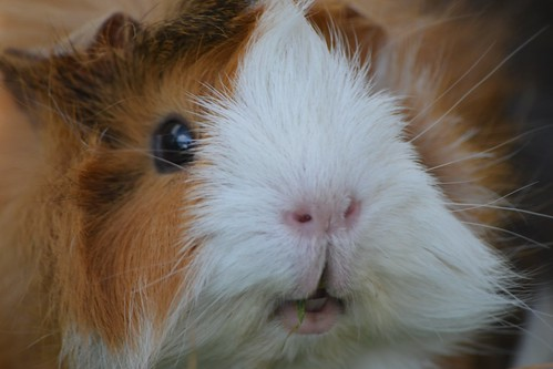 Guinea pig close up by mikeplonk