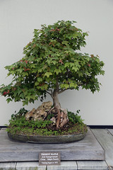shrub, tree, plant, sageretia theezans, houseplant, bonsai,
