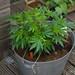 Small photo of Cannabis bonsai plant
