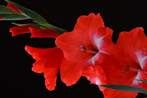 Red gladiolus in the garden- Gladiolo rojo